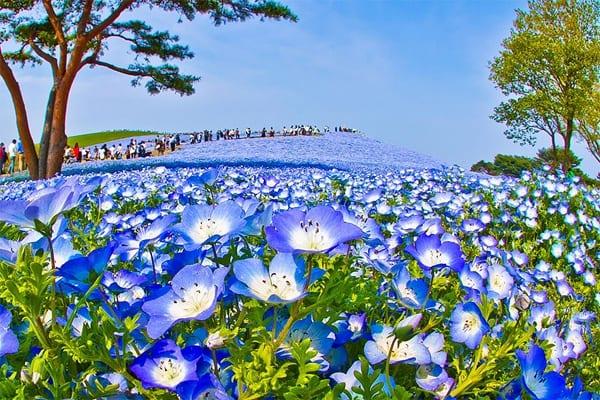 Công viên Hitachi Seaside Nhật Bản