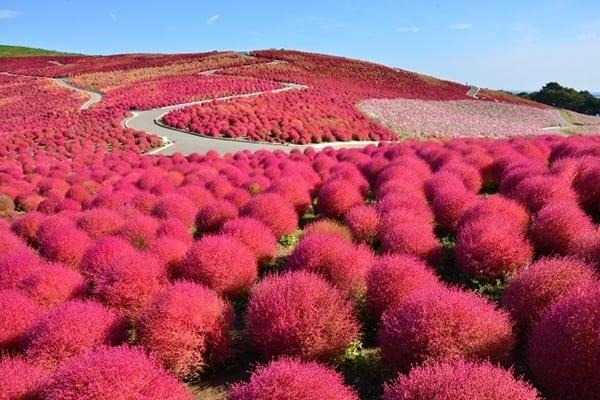 Công viên Hitachi mùa thu
