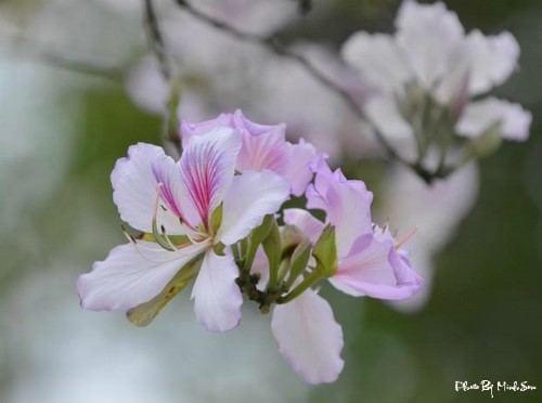 hoa ban nở